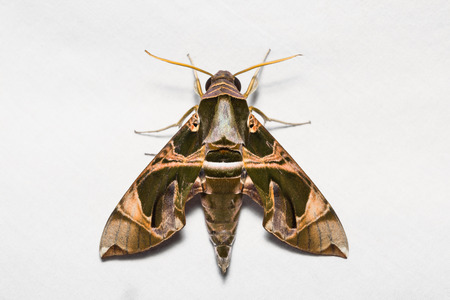 stomach bug: Close up of Jade hawkmoth (Daphnis hypothous) on white screen, flash fired Stock Photo