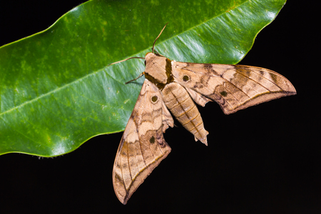sphingidae: Close up of Ambulyx substrigilis hawk moth on green leaf in nature, flash fired
