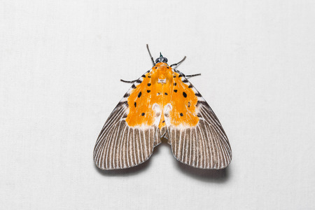 stomach bug: Close up of Peridrome orbicularis moth on white screen, dorsal view, flash fired