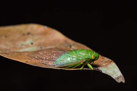 dried leaf: Close up of green cicada on dried leaf, side view, flash fired