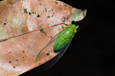 dried leaf: Close up of green cicada on dried leaf, dorsal view, flash fired Stock Photo