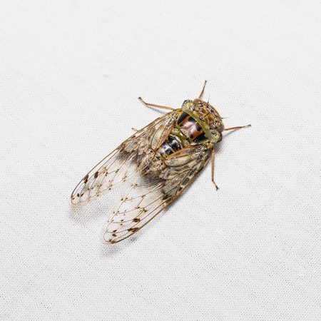 cicada bug: Close up of cicada on white screen, dorsal view, flash fired