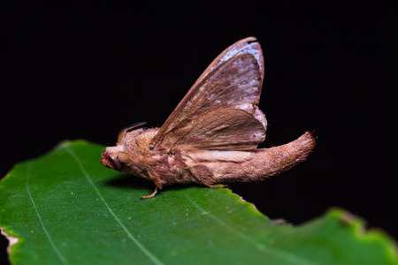 lappet: Close up of Lappet moth (Paralebeda plagifera) on green leaf in nature, flash fired