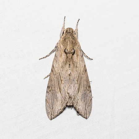 stomach bug: Close up of unidentified goat moth on white screen, dorsal view, flash fired