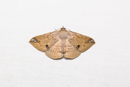possibly: Close up of Erebid moth (possibly Ericeia inangulata or Ericeia rectifascia) on white screen, flash fired Stock Photo