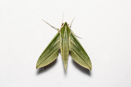 stomach bug: Close up of Cechenena subangustata hawkmoth on white screen, dorsal view, flash fired Stock Photo