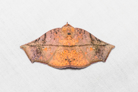 stomach bug: Close up of unidentified brown moth on white screen, dorsal view, flash fired Stock Photo