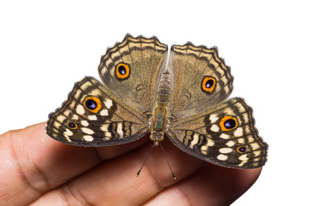 nymphalidae: Close up of Lemon Pansy (Junonia lemonias) butterfly perching on human finger on white background, dorsal view