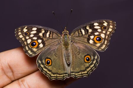 nymphalidae: Close up of Lemon Pansy (Junonia lemonias) butterfly perching on human finger, dorsal view