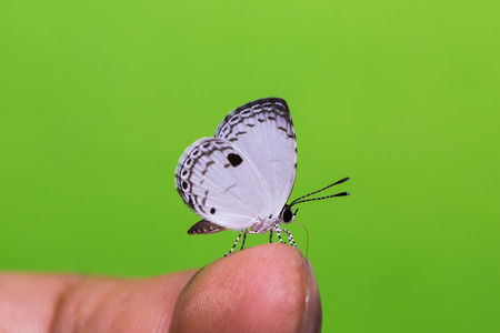 lycaenidae: Close up of the Quaker (Neopithecops zalmora) butterfly perching on human finger