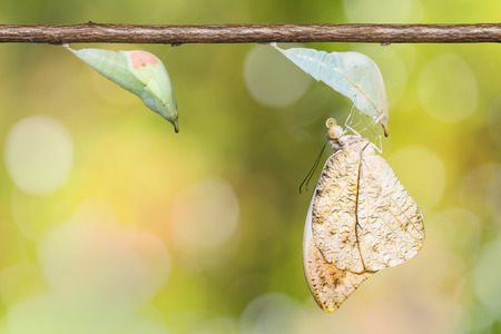 tip up: Close up of Great Orange Tip (Hebomoia glaucippe) butterfly (mature pupa and newly born butterfly), nature background Stock Photo
