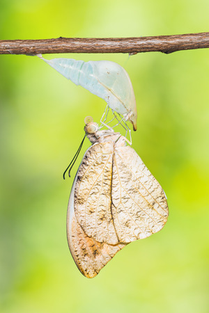 stomach bug: Close up of newly born Great Orange Tip (Hebomoia glaucippe) butterfly clinging on its pupal case, nature background Stock Photo