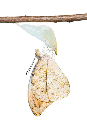 tip up: Close up of newly born Great Orange Tip (Hebomoia glaucippe) butterfly clinging on its pupal case, on white background