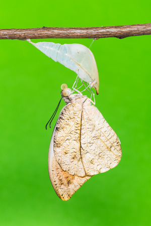 tip up: Close up of newly born Great Orange Tip (Hebomoia glaucippe) butterfly clinging on its pupal case, green background Stock Photo