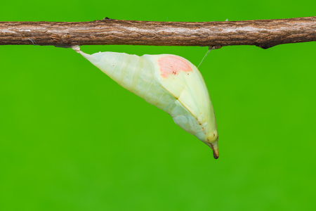 tip up: Close up of mature Great Orange Tip (Hebomoia glaucippe) butterfly pupa Stock Photo