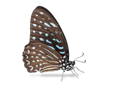 stomach bug: Close up of Spotted Zebra (Graphium megarus) butterfly, side view, isolated on white background