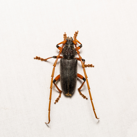 borer: Close up of Long-horned beetle or mango bark borer beetle (Neoplocaederus ruficornis or Plocaederus ruficornis) on white screen, flash fired