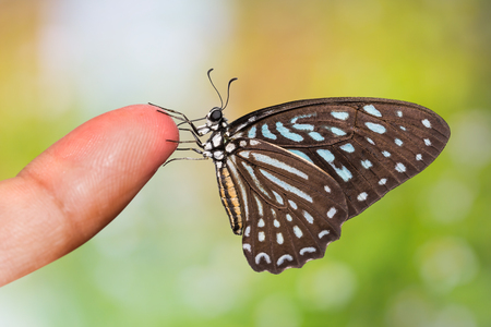 Tìm hiểu Bướm - Page 7 57968520-close-up-of-spotted-zebra-graphium-megarus-butterfly-perching-on-human-finger-side-view-nature-backg