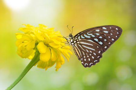 spotted flower: Close up of Spotted Zebra (Graphium megarus) butterfly perching on marigold flower, side view, nature background with sunlight