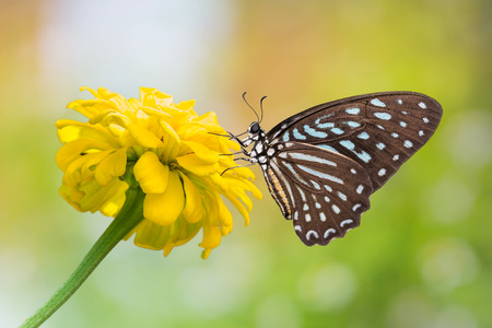 spotted flower: Close up of Spotted Zebra (Graphium megarus) butterfly perching on marigold flower, side view, nature background Stock Photo