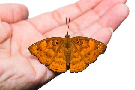 siamensis: Close up of female Black Prince (Rohana tonkiniana siamensis) butterfly perching on human hand