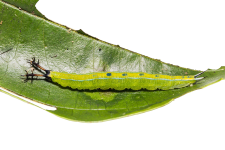 siamensis: Close up of Black Prince (Rohana tonkiniana siamensis) caterpillar on its host plant leaf