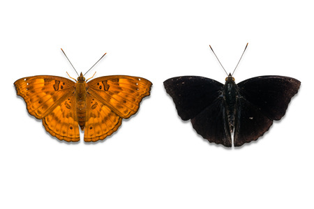 siamensis: Close up of Black Prince (Rohana tonkiniana siamensis) butterfly, female on the left and male on the right, isolated on white background