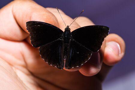 siamensis: Close up of male Black Prince (Rohana tonkiniana siamensis) butterfly perching on human fingers