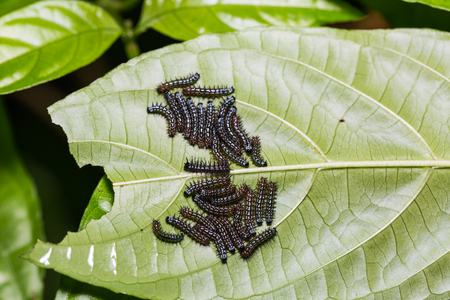 stomach bug: Close up of young Autumn Leaf (Doleschallia bisaltide) caterpillars on its host plant leaf in nature Stock Photo