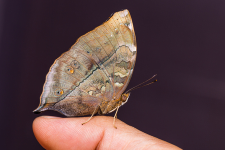 Close up of Autumn Leaf (Doleschallia bisaltide) butterfly perching on human finger, side view