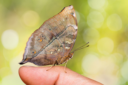 Close up of Autumn Leaf (Doleschallia bisaltide) butterfly perching on human finger, side view, nature background
