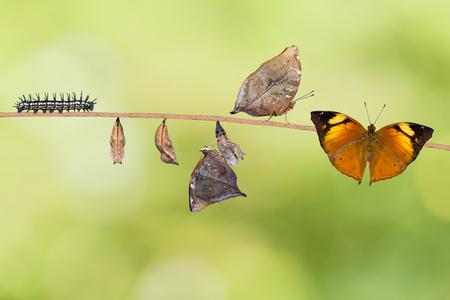 oruga: La transformación de la hoja del otoño (Doleschallia bisaltide) mariposa de la oruga a su forma adulta, fondo de la naturaleza