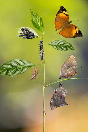 Transformation of Autumn Leaf (Doleschallia bisaltide) butterfly from caterpillar to its adult form, nature background