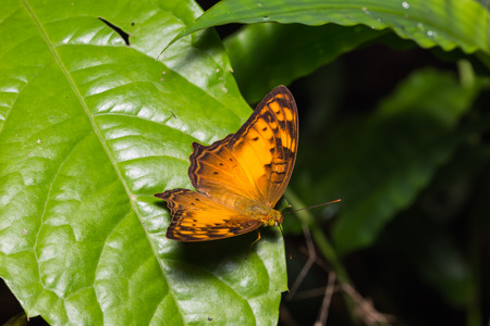 vagrant: Close up of Vagrant (Vagrans sinha) butterfly perching on green leaf in nature Stock Photo