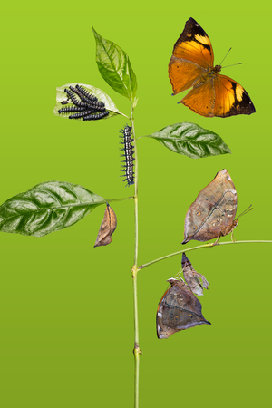 Transformation of Autumn Leaf (Doleschallia bisaltide) butterfly from caterpillar to its adult form, isolated on green background with clipping path