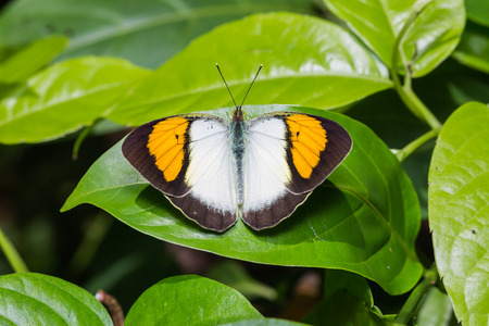 tip up: Close up of Yellow Orange Tip (Ixias pyrene) butterfly sunbathing on green leaf in nature, dorsal view