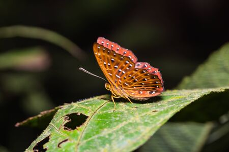 Close up of Common Punchinello (Zemeros flegyas) butterfly perching on green leaf in nature