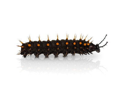 stomach bug: Close up of young Orange Oakleaf (Kallima inachus) caterpillar with reflection, isolated on white