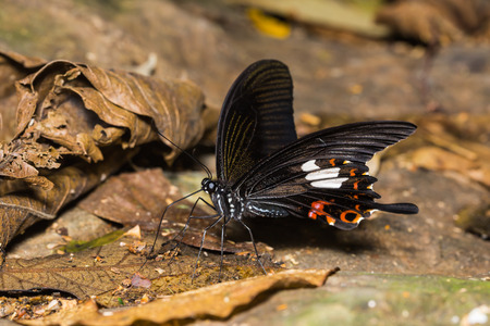 helen: Close up of Red Helen (Papilio helenus) butterfly mud-puddling in nature Stock Photo
