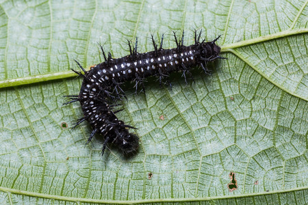 Close up of Common Jester (Symbrenthia lilaea) caterpillar on its host plant leaf
