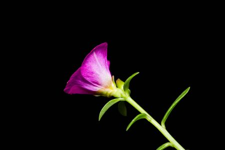 diminutive: Close up of common purslane flower, flash fired, black background Stock Photo