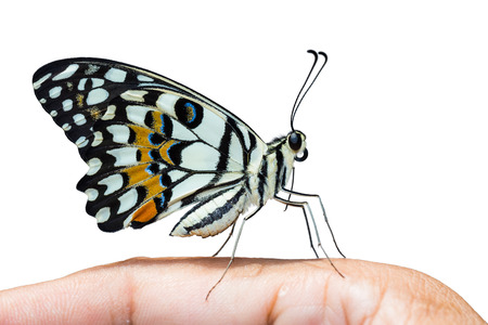 papilio demoleus: Close up of Lime butterfly or Lemon butterfly or Lime swallowtail (Papilio demoleus) perching on human fingers, side view, isolated on white background with clipping path