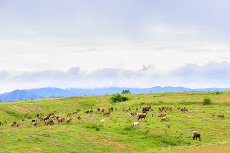 Herd of Thai domestic beef cattle grazing on green pasture, Thailand