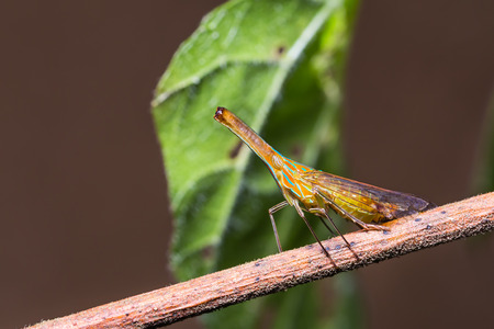 nosed: Close up of Long nosed planthopper (probably Dictyophara nakanonis or Chanithus gramineus) in nature Stock Photo