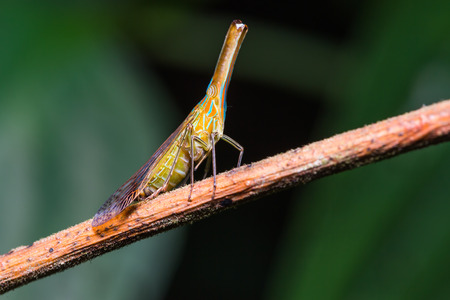 Close up of Long nosed planthopper (probably Dictyophara nakanonis or Chanithus gramineus) in nature Stock Photo