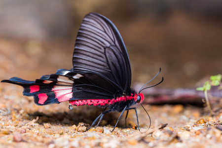 Close up of Adamsons Rose (Byasa adamsoni) butterfly mud-puddling on the ground in nature, side view