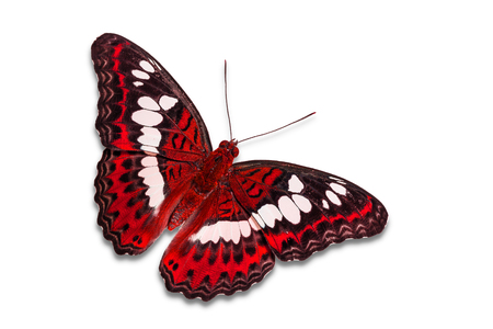 Close up of red color Commander (Moduza procris) butterfly, isolated on white background with clipping path, dorsal view