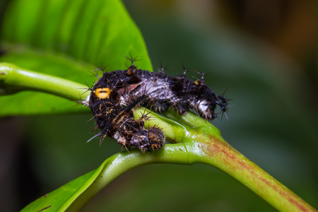 martha: Close up of mature Knight (Lebadea martha) caterpillar on its host plant in nature Stock Photo