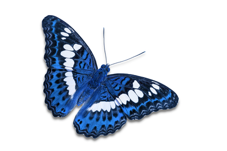 commander: Close up of blue color Commander (Moduza procris) butterfly, isolated on white background with clipping path, dorsal view