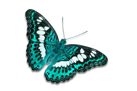 Close up of teal color Commander (Moduza procris) butterfly, isolated on white background with clipping path, dorsal view 写真素材